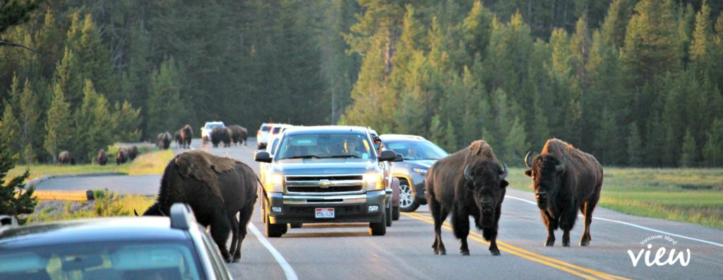 Bison traffic jam - Yellowstone National Park highlights, and tips and tricks on making the most of your trip.