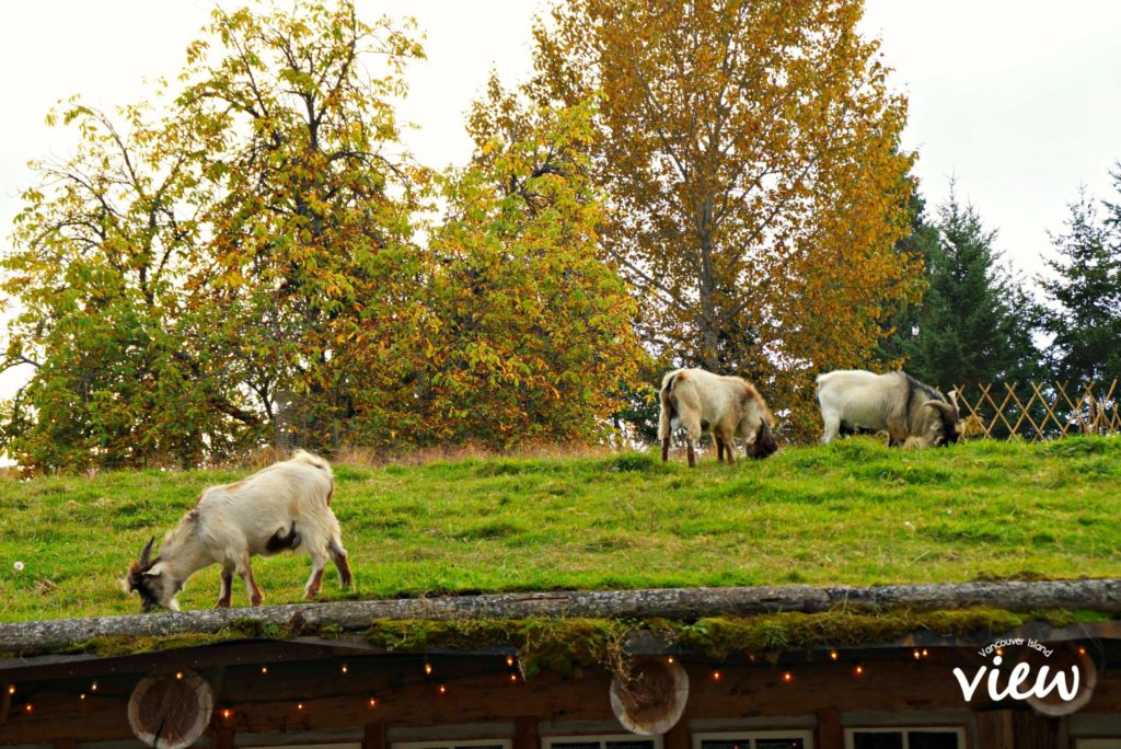 Goats on the Roof is just one of the many fantastic things to see and do around Coombs.