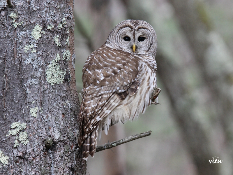 Barred Owl. Stroller Friendly Trails in Nanaimo. Vancouver Island View.